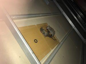 つくば市ネズミ駆除の事例